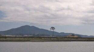 Sosna: nadzieja Japończyków. Ostatnia ocalała w tsunami