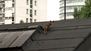 Lis odpoczywał na dachu fabryki Norblina