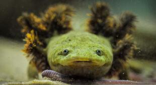 Na ratunek salamandrom z jeziora Patzcuaro (zdjęcia: Chester Zoo)