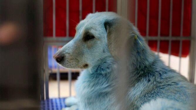 Bezpańskie psy z niebieską sierścią. Błąkały się w pobliżu rosyjskiej fabryki