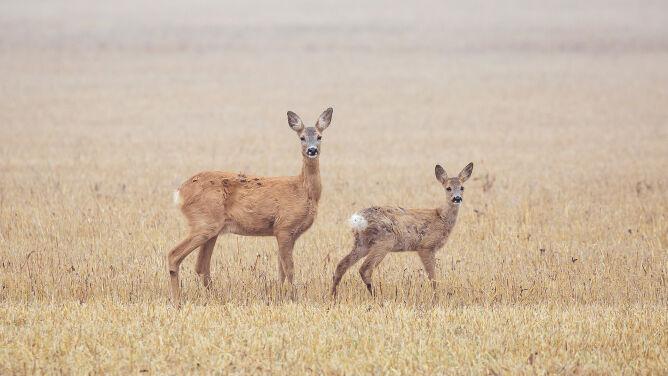 Sarna europejska może nosić w macicy <br />dwa zarodki od różnych samców