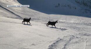 Kozice w Tatrach